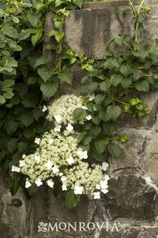 Climbing Hydrangea (Hydrangea anomala petiolaris) - Monrovia - Climbing Hydrangea (Hydrangea anomala petiolaris) - Crazy climber will self-cling and over-winter (not die back) - shades walls in summer and lets sun hit in winter.  Grows quickly to 60'-80'!