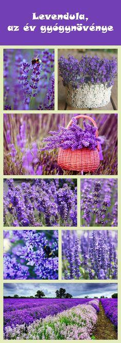Levendula, az év gyógynövénye. #gyógynövény #levendula Lavender Fields, Garden Paths, Herbs, Landscape, Purple, Flowers, Green, Lilacs, Plants
