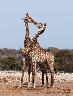 Into the Wild-Giraffe Love Photo by Judylynn Malloch Giraffe Art, Cute Giraffe, Animals And Pets, Baby Animals, Funny Animals, Wild Animals, Animals Kissing, Giraffe Pictures, Animal Pictures
