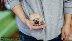 Pomeranian Puppy For Sale, Cute Pomeranian, Yorkie Puppy, Micro Pomeranian, Teacup Yorkie, Teacup Puppy Breeds, Teacup Puppies For Sale, Small Puppies, Cute Puppies
