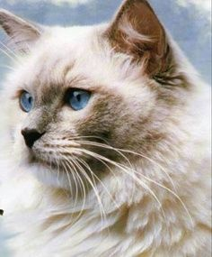 See more on Facts about Ragdoll Cats!