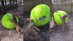 Dog receives giant ball, has the time of his life