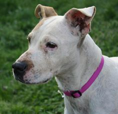 Meet Shasta, a Petfinder adoptable Pit Bull Terrier Dog | Pomeroy, OH | Shasta is a pit mixed with maybe hound. She is a lap girl! #30 Do not over look this little girl...