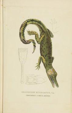 Crocodilus biporcatus. Dictionnaire classique des sciences naturelles. Atlas. Brussels :Meline, Cans et Ce.,1853. Biodiversitylibrary. Biodivlibrary. BHL. Biodiversity Heritage Library