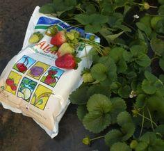 Alga 600 hnojivo na jahody #strawberries fertilizer #gargening