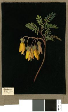 Mary Delany - Sophora Tetraptera, from an album (Vol.IX, 1779 Collage of coloured papers, with bodycolour and watercolour, on black ink background Nature Illustration, Botanical Illustration, Botanical Drawings, Botanical Prints, Collage Artists, Gravure, New Art, Flower Art, Flowers