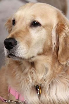 Such a gorgeous Golden Retriever : ) <3<3<3<3 She reminds me of our Chelsea<3<3<3<3<3<3<3