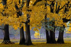 ***Grove of trees in fall color (Netherlands) by Lydia Machant on 500px