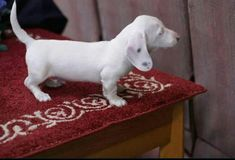 Smooth coat extreme piebald doxie puppy