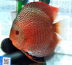 Discus Fish, Cool Fish, Freshwater Aquarium Fish, Beautiful Fish, Cichlids, Planted Aquarium, Aquascaping, Aquariums, Tropical Fish