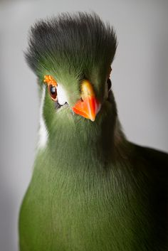 our-lips-locked:  White-Cheeked Turaco by William T Hornaday on Flickr.