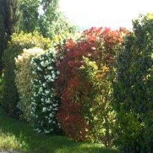 haie fleurie et persistante quels arbustes pour haies choisir haies fleurs blanches et fleuri. Black Bedroom Furniture Sets. Home Design Ideas