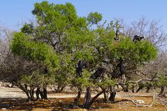 Goats in an Argantree -