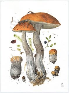 Image from http://www.pelcor.com/mushrooms/mushroomsbig/Leccinum%20versipelle%20II.gif.