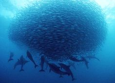 Sardine Run brings the predators of the sea from the huge whales to the family of dolphins.