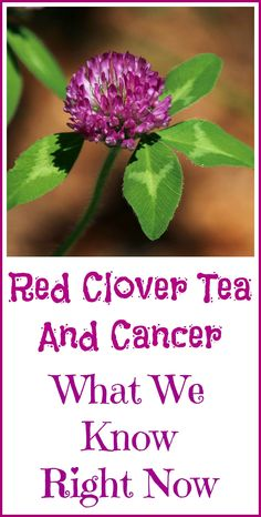 Red clover tea kills cancer cells. What we know about this herbal folk remedy.