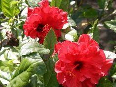 Chinese hibiscus H. rosa-sinensis