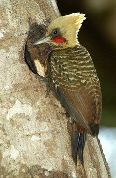 Papagaio Pica-pau de coleira