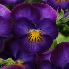 """Halo Violet is a compact sweet smelling ground cover.  At 8-10"""" tall it produces larger dark purple flowers than most violets. A  heat tolerant Violet and deer resistant.  Plant in full sun to part shade as a border or in containers.  (Viola cornuta PP"""