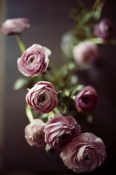 English rose in mauve