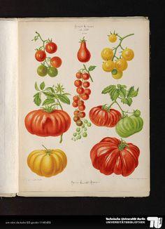 Ernst Benary, tomatoes from Album Benary, 1876-86. Erfurt…