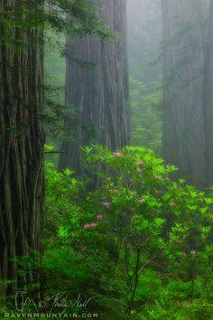 In The Mist photo - Del Norte Coast Redwoods State Park, California
