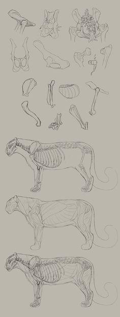 Big Cat Anatomy Practice