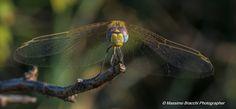 Dragonfly by Massimo Bracchi on 500px