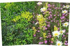Niitty hurmaa kukillaan ja tuoksuillaan - sekä perhosillaan! - miten perustaa kukkaniitty.