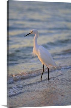 Snowy Egret, Sanibel, Florida