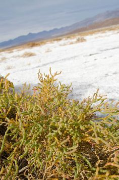 Salt plant in the salt flats, Death Valley National Park, California