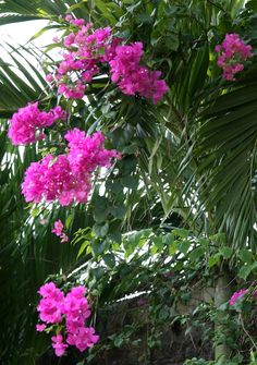 After  3 years the bougainvilla are in full bloom at  the villa.