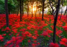 Red-Flower-Nature-Park-Sunset-3D-Full-Wall-Mural-Photo-Wallpaper-Home-Decal-Deco