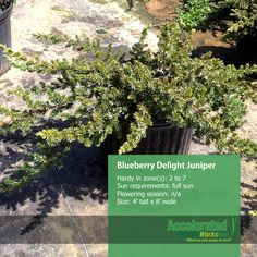 Blueberry Delight Juniper