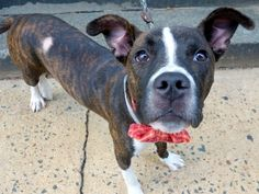 SAFE 8-20-2015 by Mr. Bones and Co --- Manhattan Center ALL STAR – A1047332  MALE, BR BRINDLE / WHITE, PIT BULL MIX, 6 mos STRAY – STRAY WAIT, NO HOLD Reason STRAY Intake condition INJ MINOR Intake Date 08/09/2015 http://nycdogs.urgentpodr.org/all-star-a1047332/