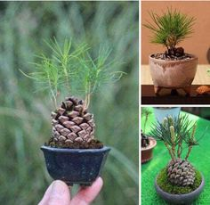 Tomaten Pflanzen Go into the forest and find a pine cone. Put it in a pot Go into the fores Bonsai Garden, Garden Plants, Indoor Plants, Cactus House Plants, Comment Planter, Interior Plants, Miniature Fairy Gardens, Pine Cones, Garden Projects