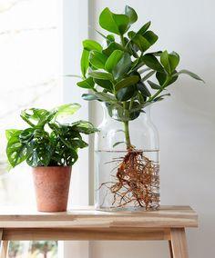 Clusia in Wasser für Esstisch Hydroponic Farming, Hydroponic Plants, Hydroponic Growing, Growing Plants, Hydroponics, Clusia, Indoor Water Garden, Indoor Plants, Ikea Plants
