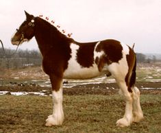The Spotted Draft Horse