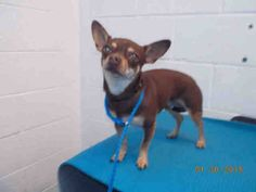 MANNY (A1676474) I am a neutered male brown and tan Chihuahua - Smooth Coated. The shelter staff think I am about 1 year old. I was found as a stray and I may be available for adoption on 02/05/2015. — Miami Dade County Animal Services. https://www.facebook.com/urgentdogsofmiami/photos/pb.191859757515102.-2207520000.1422817186./919818758052528/?type=3&theater