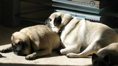 Sunbathing pugs. Any tiny patch of sunlight will do...