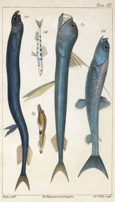 Stomias boa and other fish by artist J.G. (Jean Gabriel) Pretre, (France, b.1769) from Risso's Histoire Naturelle des Principales Productions de l'Europe Méridionale. Engravings   American Museum of Natural History