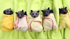 Swaddled baby fruit bats