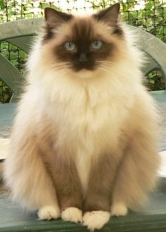 Ragdoll - Eden-lea Lady Jemma, Seal Mitted  Have seen this look many times from Punkin!  Meoooow
