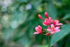 Jatropha integerrima flower, Peregrina or Spicy Jatropha, Flower Bokeh for Background. by IIrinaSS on @creativemarket