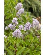 Marie Bleu™ New Jersey Tea (Ceanothus x pallidus 'Minmari' P.P.A.F.) - Monrovia - Marie Bleu™ New Jersey Tea (Ceanothus x pallidus 'Minmari' P.P.A.F.)