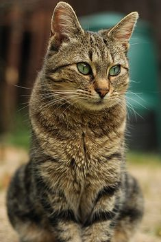 Tabby cat ... one of the smartest cats I have ever known.