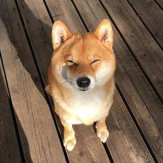 コンガリコーン * * #shibadog #shiba #こんがり #shibaken #キツネ色 #しばけん #foxdog #豆太 # #goldenbrown * * done golden brown ☝️