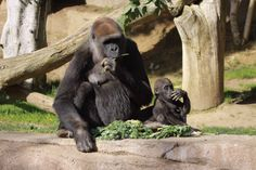 Gorilla: Imani & her baby, Joanne, at the San Diego Zoo Safari Park. Photo by Kristi Stowell Cole