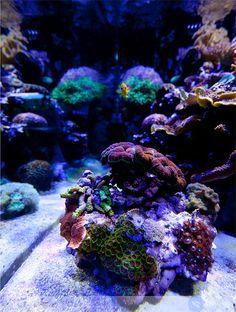 This coral reef tank is illuminated by Ecoxotic Cannon LED pendants, 100 watts. The reef aquarium is located at Aquatic Warehouse, a retail store located in San Deigo, CA. Saltwater Aquarium Fish, Saltwater Tank, Reef Aquarium, Nano Reef Tank, Reef Tanks, Fish Tank Design, Marine Tank, Sea Plants, Under The Ocean