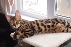 For sale a beautiful female Bengal kitten Cassiopeia